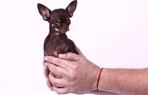Самая маленькая собака в мире фото -http://www.guinnessworldrecords.com/