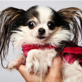 Самая маленькая собака в мире. Второе место занимает Бу-Бу. фото - http://www.guinnessworldrecords.com/