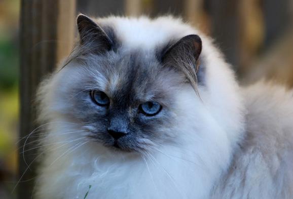 Гималайская кошка. фото - www.drodd.com