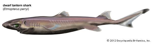 Карликовая светящаяся акула. Самая маленькая акула в мире.