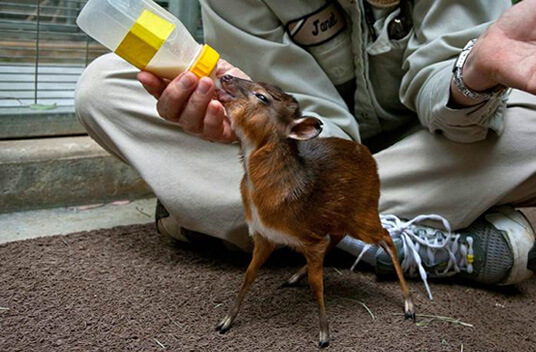 Королевская антилопа - самая маленькая антилопа в мире. В зоопарке Сан-Диего детёныша королевской антилопы выкармливали из специально разработанной бутылки.