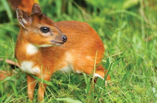 Самая маленькая в мире антилопа - королевская антилопа. фото -www.britannica.com