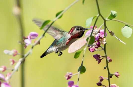 Самая маленькая в мире птица. Колибри-пчёлка. Самец.