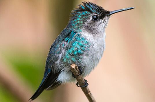 Самая маленькая в мире птица. Колибри-пчёлка .фотограф Rich Wagner http://www.wildnaturephotos.com/