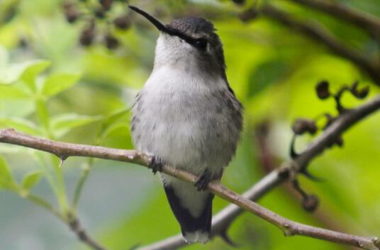 Самая маленькая в мире птица. Колибри-пчёлка. самка.