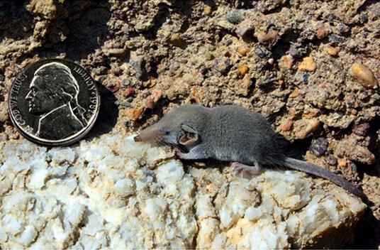 Самое маленький зверь (млекопитающие) в мире - Этрусская землеройка.