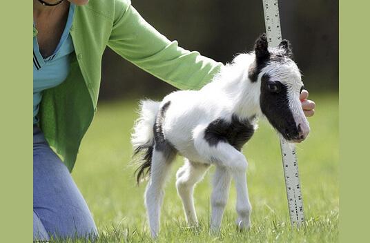 Самая маленькая в мире лошадь - жеребенок по имени Эйнштейн