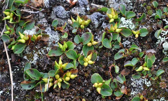 dwarf Willow (Salix herbacea) . Самое маленькое дерево в мире. фото - http://www.biopix.com/