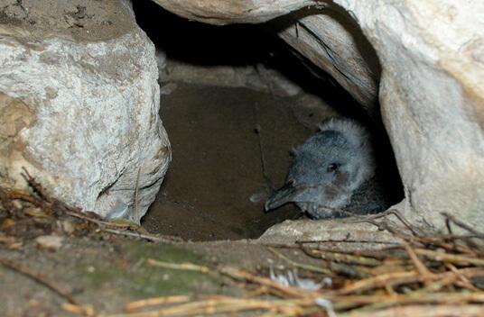 Самые маленькие пингвины. Птенец Малого пингвина в гнезде.