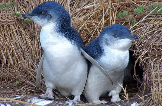 Самый маленький пингвин в мире - Малый пингвин/ фото - flickr.com/Mkuhn