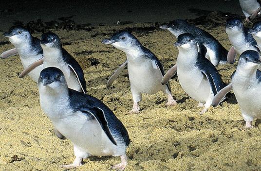 Самый маленький пингвин в мире - Малый пингвин