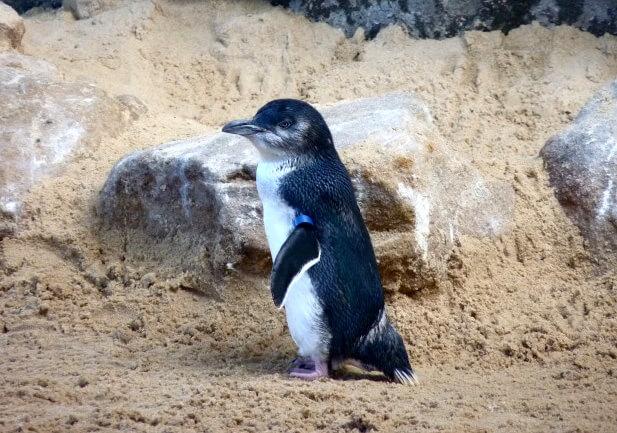 Малый пингвин.