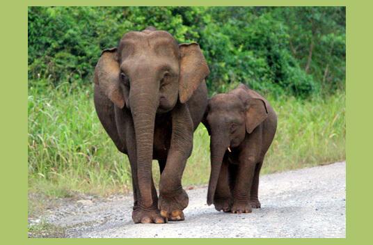 Самый маленький в мире слон - Карликовый слон Борнео. фото - nationalgeographic.com