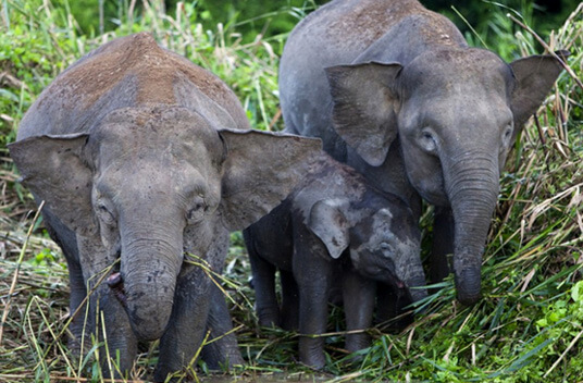 Самый маленький в мире слон - Карликовый слон Борнео. фото - David Evison /Shutterstock