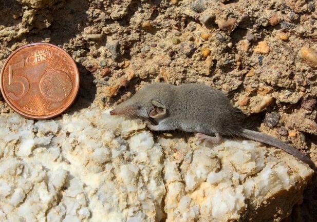 Самое маленькое в мире млекопитающее. Этрусская землеройка