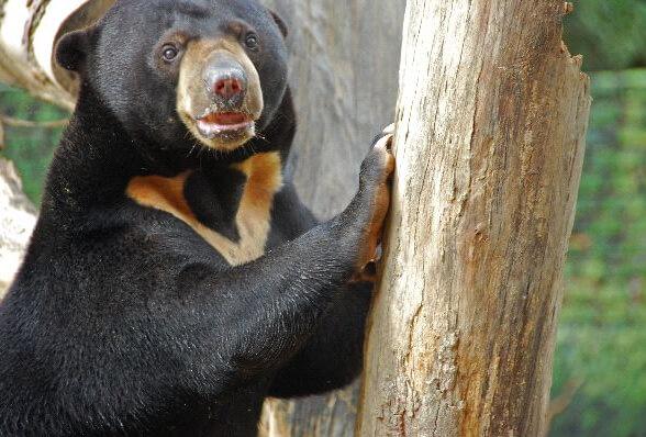Самый маленький медведь в мире - Малайский медведь (Бируанг)