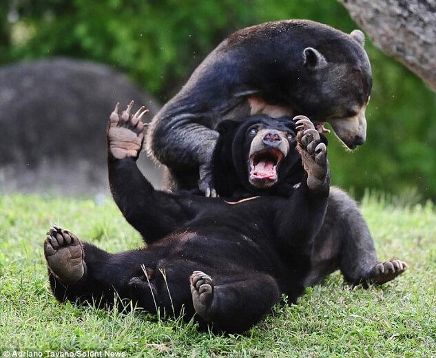 Самый маленький медведь в мире - Малайский медведь (Бируанг).