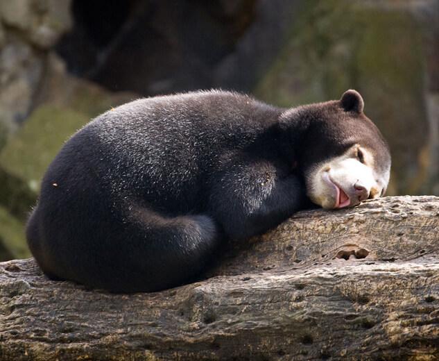Самый маленький медведь в мире - Малайский медведь (Бируанг). Медвежонок.
