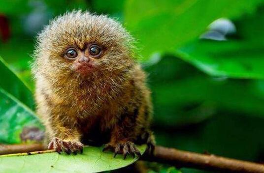 Самая маленькая обезьяна в мире - Карликовая игрунка