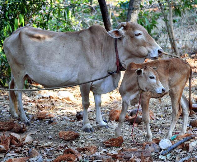Самая маленькая порода коров - Вечур. фото - wikipedia.org