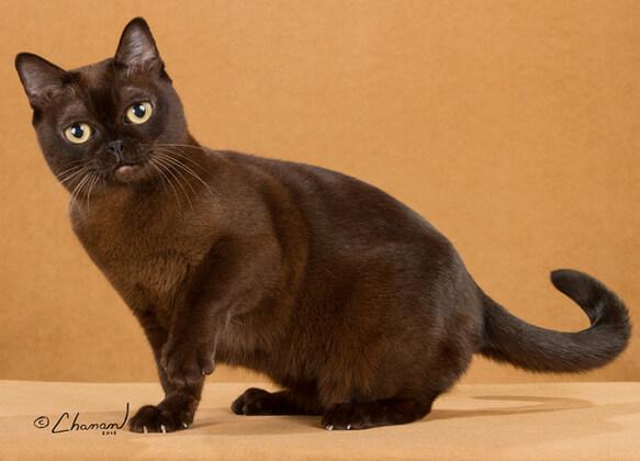 Самые маленькие породы кошек. Бирманский.