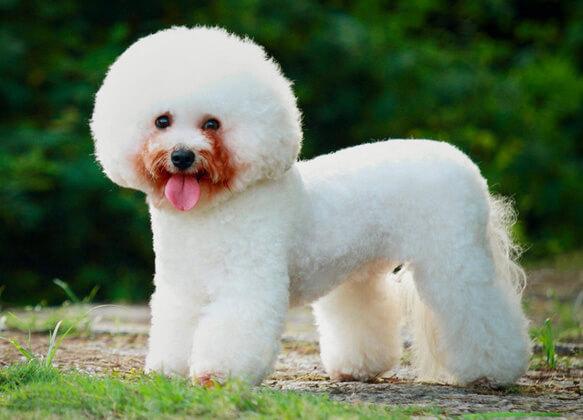 Топ-10 самых маленьких в мире пород собак. Бишон фризе.