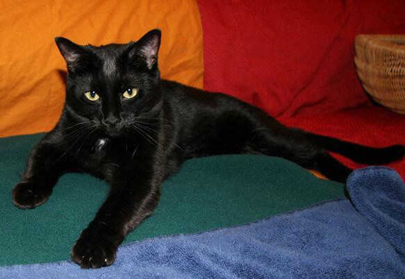 Самые маленькие породы кошек. Бомбей. фото http://www.cattell.net