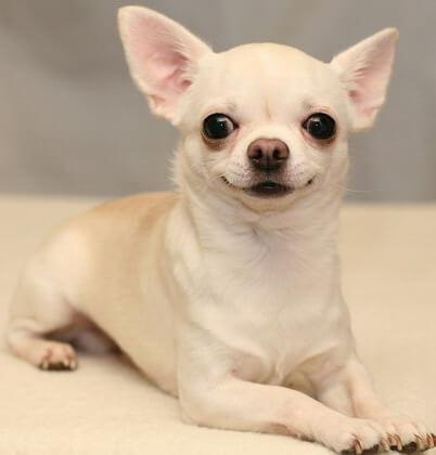 Топ-10 самых маленьких в мире пород собак. Чихуахуа.