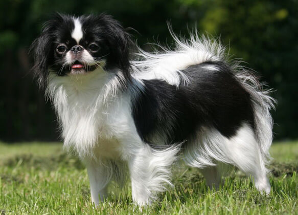 Топ-10 самых маленьких в мире пород собак. Японский хин.