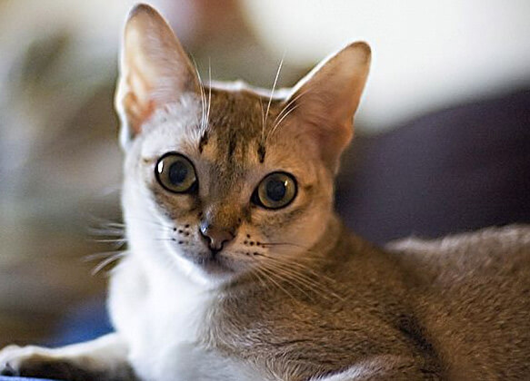 Самые маленькие породы кошек. Сингапура.