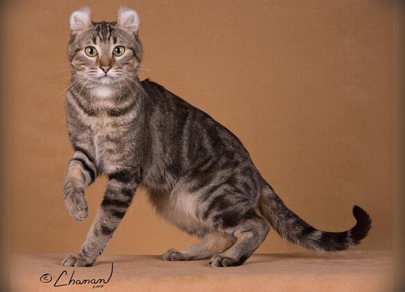 Самые маленькие породы кошек. Американский керл.