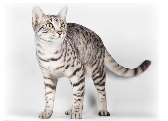 Самые маленькие породы кошек. Египетская мау