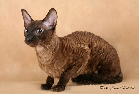 Самые маленькие породы кошек. Корниш рекс.
