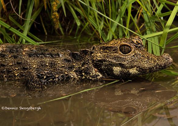 Самый маленький в мире крокодил - Африканский карликовый крокодил. фото - http://dskogsphoto.com/