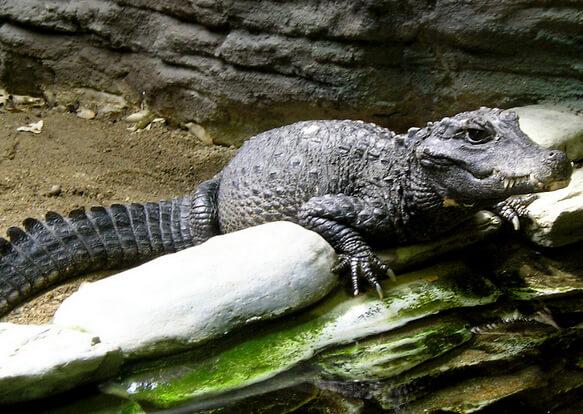 Самый маленький в мире крокодил - Африканский карликовый крокодил. фото -http://www.flickr.com/photos/7620094@N02/3579426541