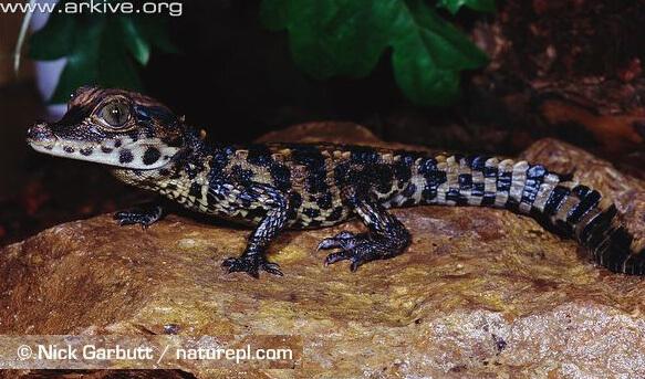 Самый маленький в мире крокодил - Африканский карликовый крокодил. Недавно вылупившийся крокодильчик.