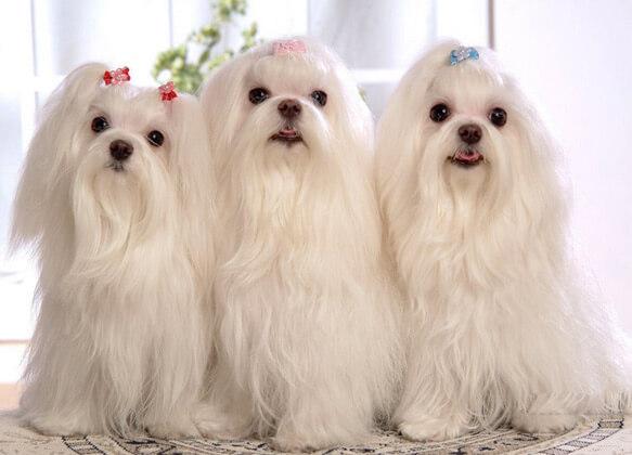 Топ-10 самых маленьких в мире пород собак. Мальтийская болонка.