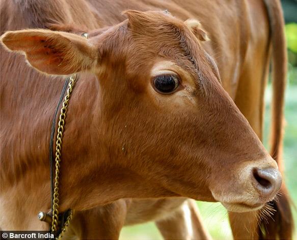 Самая маленькая корова в мире - Маникьям.