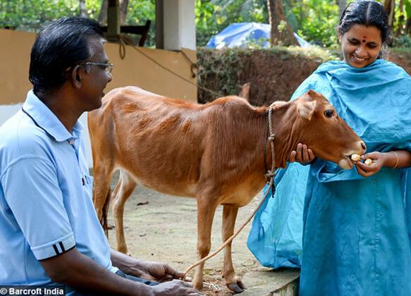 Самая маленькая корова в мире - Маникьям с хозяином и хозяйкой.