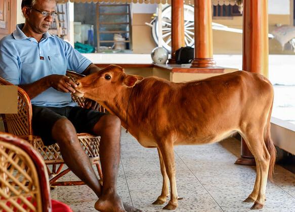 Самая маленькая корова в мире - Маникьям с хозяином.