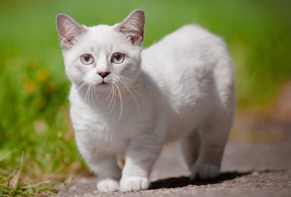 Самые маленькие породы кошек. Манчкин.