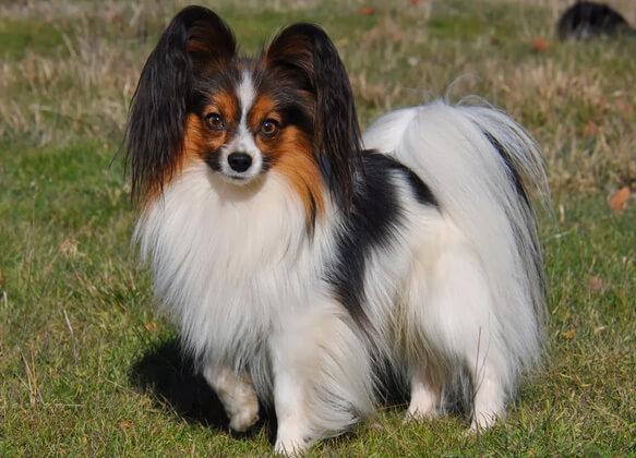 Топ-10 самых маленьких в мире пород собак. Папильон.