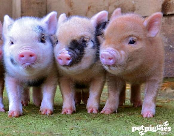 Самые маленькие свиньи - карликовые свиньи или Мини-пиги.