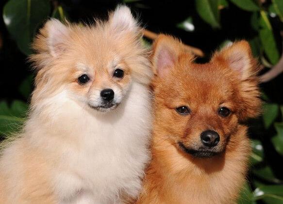 Топ-10 самых маленьких в мире пород собак. Померанский шпиц. фото: http://www.photos-animaux.com