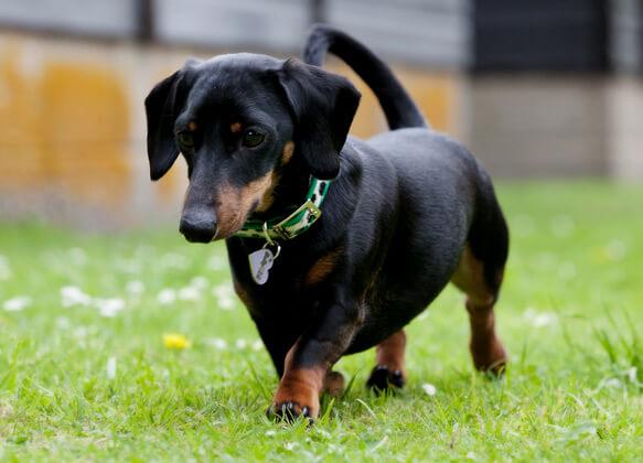 Топ-10 самых маленьких в мире пород собак. Миниатюрная такса фото: www.101dogbreeds.com