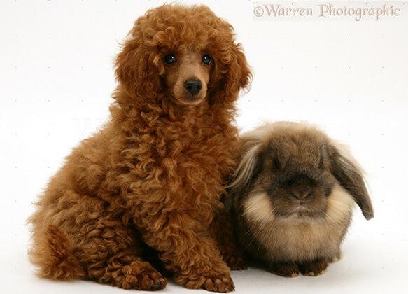 Топ-10 самых маленьких в мире пород собак. Той Пудель.