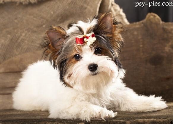 Топ-10 самых маленьких в мире пород собак. Йоркширский терьер.