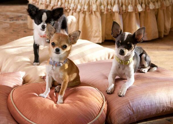 Самая маленькая порода собак - Чихуахуа.