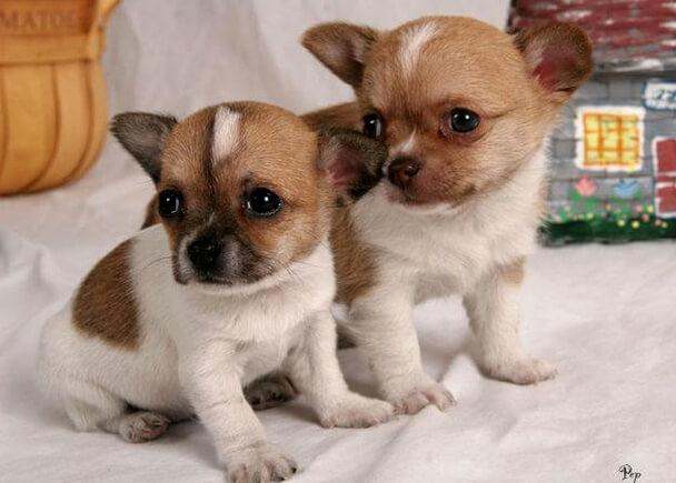 Самая маленькая порода собак - Чихуахуа. Щенки.