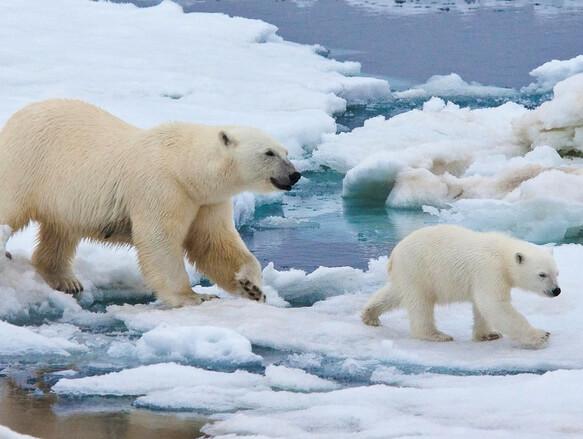 Самый маленький океан на земле. Северный Ледовитый океан. Белые медведи.
